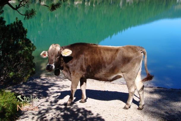 Braies-krowa