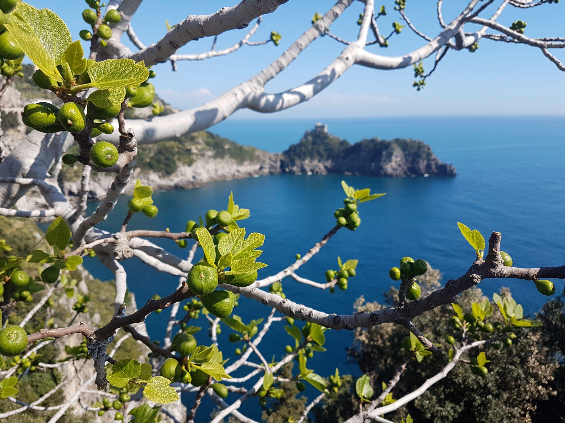 Dojrzewające figi - marzec na Wybrzeżu Amalfi