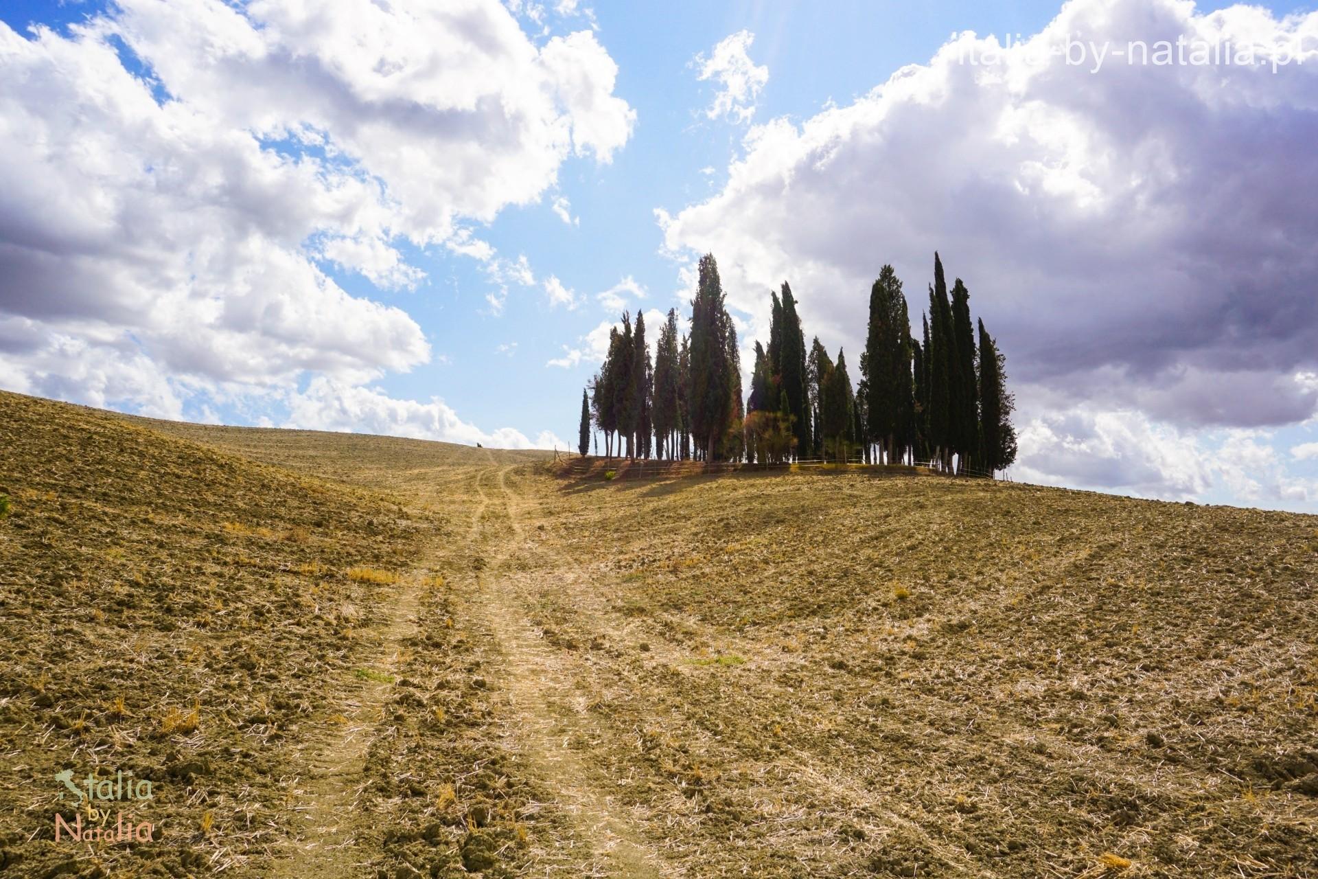 Samotna kępa cyprysów przy drodze do Montalcino punkt widokowy w Toskanii
