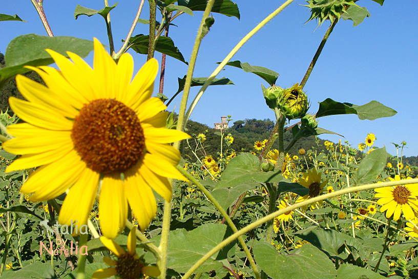lato w Toskanii słoneczniki