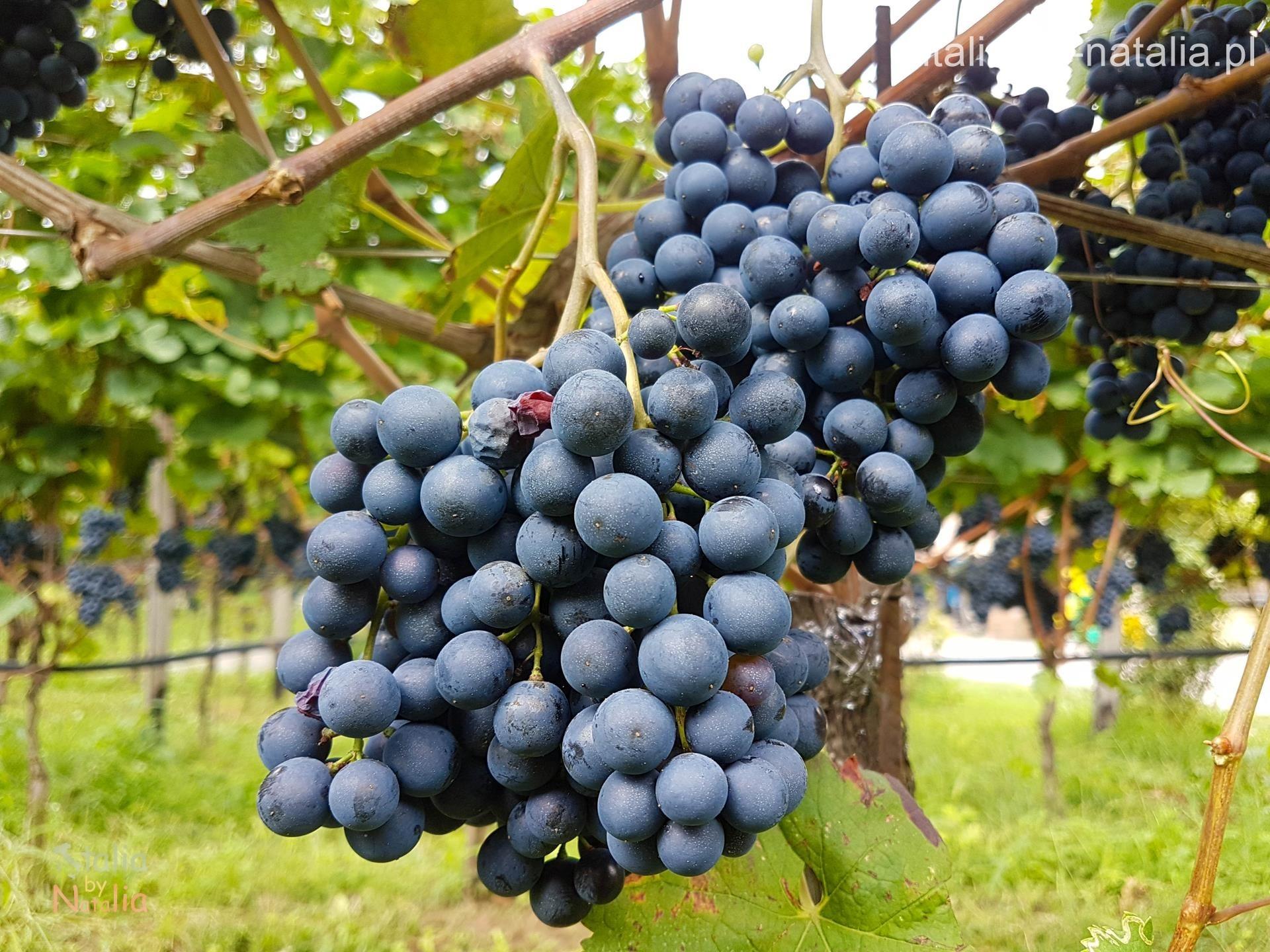 Gino Pedrotti Trentino degustacja wino vino santo nosiola zwiedzanie winnicy