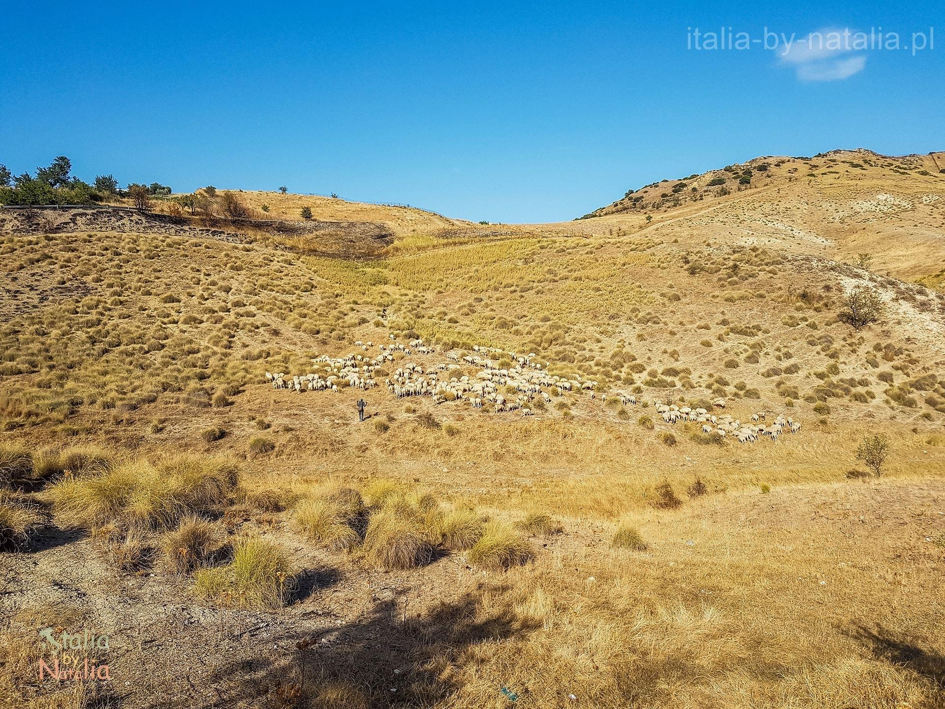Bazylikata wieś wrzesień pasterz owce pastwisko