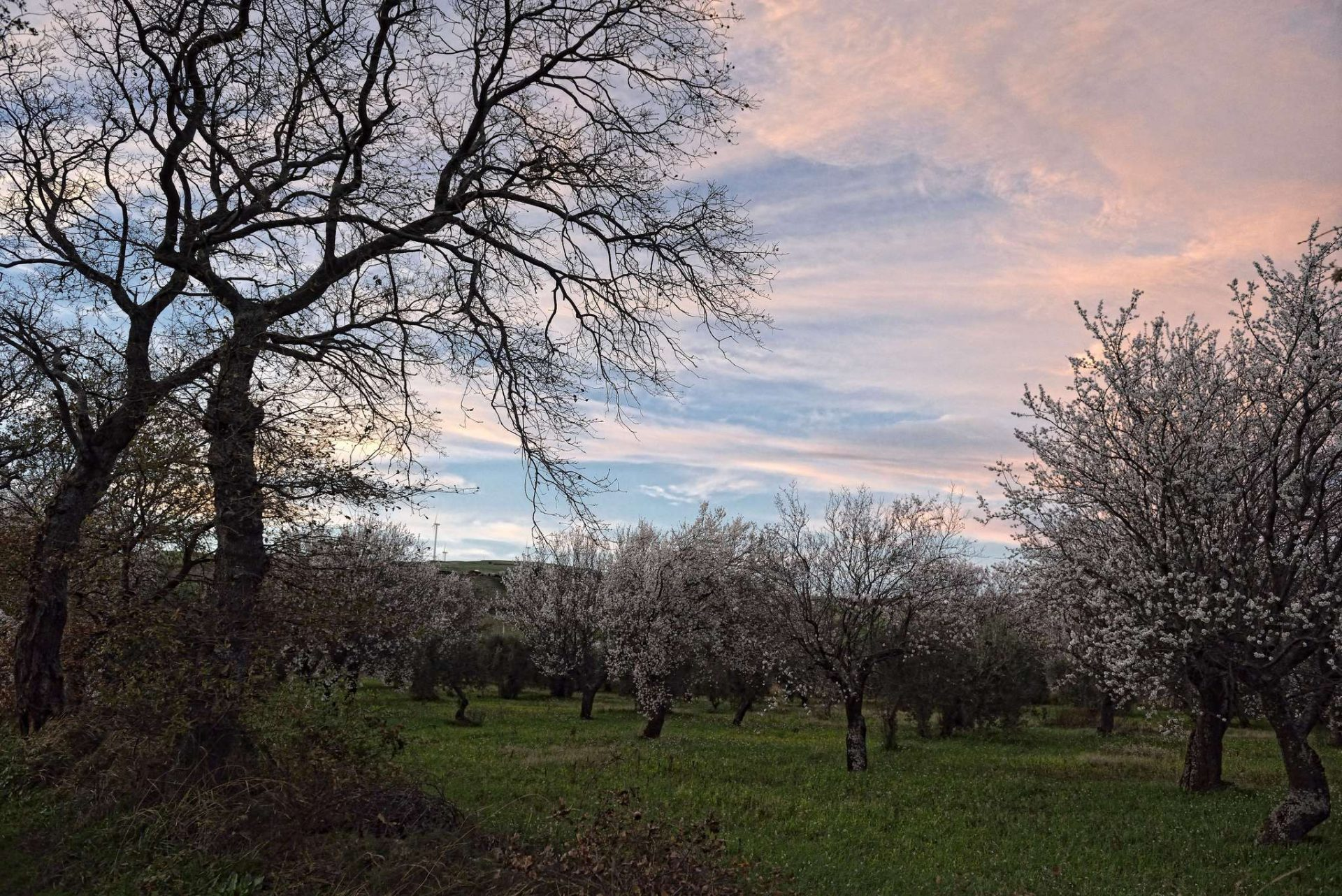 Kwitnące drzewo migdałowe Gargano Apulia luty